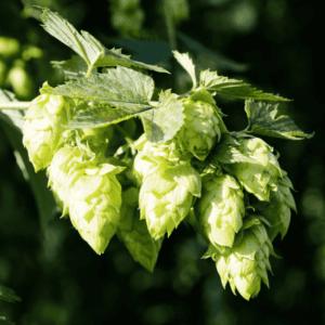 Fresh whole hops